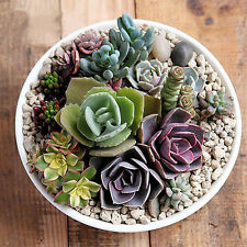 150pcs Rare Mixed Succulent Lithops Living Plants Cactus Home Plant Seeds Bulbs