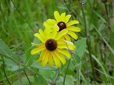 Black-eyed Susan (Rudbeckia hirta) ✤ 500 Seeds