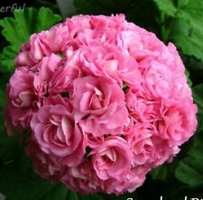 Pelargonium , Rosebud, junge Pflanze zur Auswahl