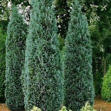Port Orford Cedar Tree Seeds (Chamaecyparis lawsoniana) 30+Seeds
