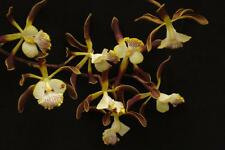 Rare orchid species  (seedling size) - Encyclia alata