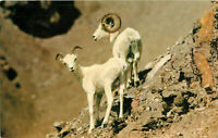 Postcard Two White Rams, Mt. McKinley National Park
