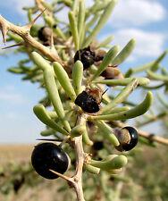 BLACK GOJI Berry RARE Wolfberry Lycium Ruthenicum Russian Wolf Berry 30 Seeds