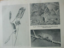 Antique Print 1931 Harvest Mice Wood Mouse Field Vole Animals Rodents Nature Art