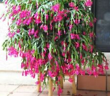 Schlumbergera Unrooted Cuttings (Red- Pink and Magenta) Rare Christmas Cactus