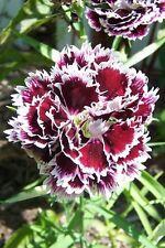 50 Velvet N Lace Dianthus Plumarius Flower Seeds + Gift & Comb S/H