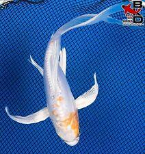 "New listing 7"" Butterfly Doitsu Hariwake Live Koi Fish Pond Garden Bkd"