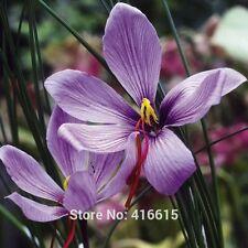 100 pcs Saffron Crocus Seeds Easy To Grow Home Garden Ground Cover Plant