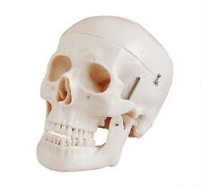 Modèle de crâne humain Deluxe - très détaillées - Squelette Humain Anatomique