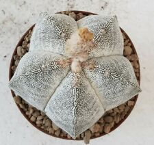 Astrophytum myriostigma onzuka haku-yo