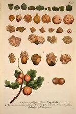 J. W. Weinmann 1739 Quercus gallifera agallas phytanthoza-lconographia