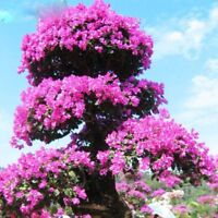 100PCS Bonsai Tree Purple Great Azalea Seeds Azalea Flower Home Garden Plants