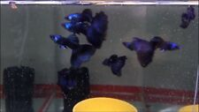 Magic Black and Blue Thunderbolt Guppies 1 Trio 4 Months old