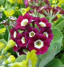Red/Pink Garden or Border Auricula Seeds (2020) : Hybrid Alpine Primula/Primrose