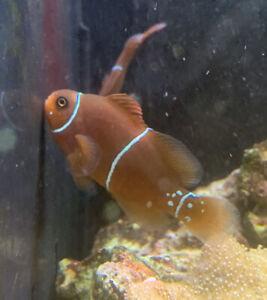Pair (2x) Maroon Clownfish Marine Fish Saltwater Aquarium