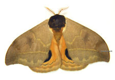 Unmounted Butterfly/Saturniidae - Automeris chacona cochambae, male, A1/A-