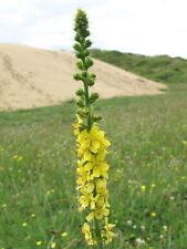 Agrimonia eupatoria - Common Agrimony -Churchsteeples 100 seeds