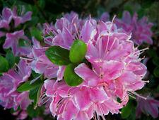 Zwergazalee Kermesina Rose 20-25cm Rhododendron obtusum Frühlingsblüher