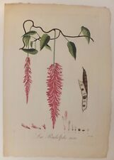 """La rudolphe rose, planche de """"La Flore des Antilles"""" de Tussac, 1808"""
