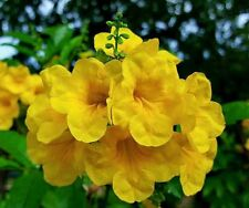 G334 YELLOW BELLS SEEDS SEMILLAS 10 graines TROMPETTE D/'OR Parfumée Tecoma Stans