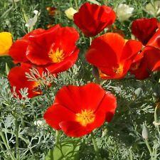 California Poppy Red Flower Garden 15 Fresh Seeds Free Shipping in Usa