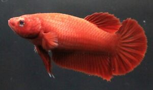 Thai Betta Pet Fish Plakat Fight Red Aqua Home Female Premium Breeder Rare AAA