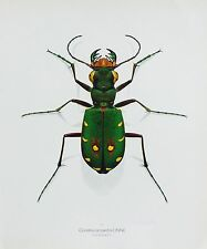 Durin Print FIELD TIGER BEETLE 10.5x13in SINGLE-SIDED Nice INSECT PRINT L@@K!***