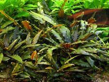 Cryptocoryne Wendtii Brown in Vitro - Live Aquarium Plants Crypt Tropica Carpet