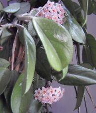 Bouture cutting  HOYA CARNOSA Fleur de Porcelaine Fleur parfumée