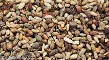 100g Neem Seed Azadirachta Indica Sun Dried Organic Neem Beej Nimboli Free Ship