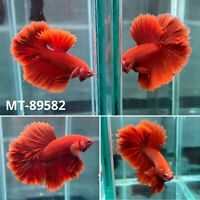 (MT-89582) Solid Red Rose Fancy Tail Over Halfmoon Live Male Betta Fish Grade A+