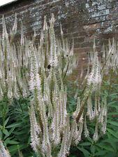 WEIßER KANDELABER EHRENPREIS  400 Samen  Bienenweide