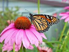 200+PURPLE CONEFLOWER American Native Wildflower Seeds Medicinal Long Life Span