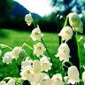 20PCS Lilie von das Tal Blumen Samen Convallaria Majalis Samen Dekor