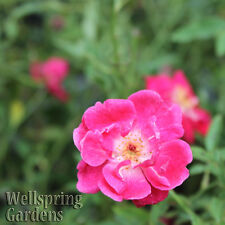 Louise Philippe Rose Bush Antique Rose plant
