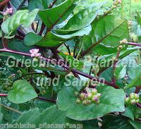 🔥 Malabar Spinat * Gemüse * Salat * MEHRJÄHRIG * 15 Samen
