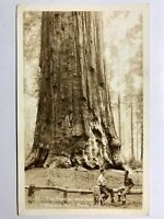 Sequoia National Park Ca General Sherman Tree Postcard RPPC Real Photo Picture