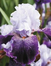 2 Rhizomes Royal Purple German Tall Bearded Iris