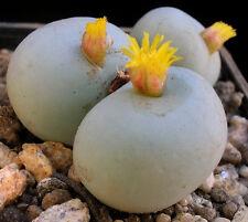 Conophytum calculus, exotic cactus rare living stones mesemb cacti seed 15 SEEDS