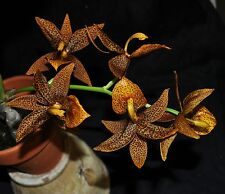 Cycnoches warcewiczii x Mormodes Nitty Gritty very nice new Cycnodes Bs plants