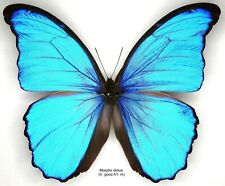 Butterfly - 1 x mounted male Morpho didius (V.Good A1-) - not framed