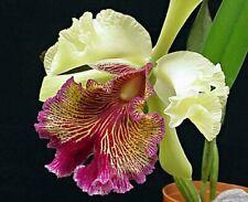 New listing Cattleya orchid dowiana aurea