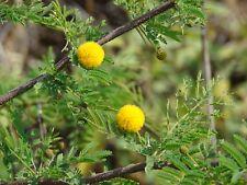 Acacia farnesiana HARDY SWEET ACACIA Exotic SEEDS!