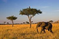 Elephant on a Savanna Photo Art Print Poster 24x36 inch