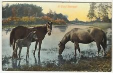 HORSES DRINKING FROM A RIVER - A Cool Retreat - Edwardian 1908 used postcard