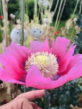 Walter's Pink Afghan Poppy True Heirloom Somniferum Papaver - Heat Tolerant