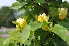 Pflücken Sie Blumen einfach von Ihrem Baum - vom schönen Tulpenbaum !