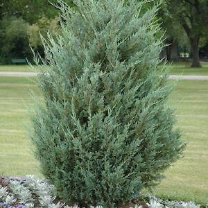 Rocky Mt. Juniper Tree Seeds (Juniperus scopulorum) 30+ Seeds