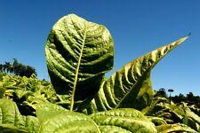 Nicotiana tabacum - Tabaco Burley - 500 semillas - Seeds