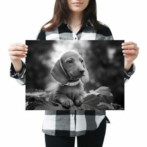 A3 - Brown Dachshund Sausage Dog Puppy Poster 42X29.7cm280gsm(bw) #37210